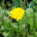 Calendula Seeds (<i>Calendula officinalis</i>)
