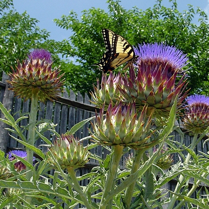 Cardoon Live Plant (Cynara cardunculus), Artichoke Seeds, Artichoke Plants, Artichoke, Seeds, Garden Seeds, Vegetable Seeds, Garden Supplies