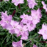 China Pink (<i>Dianthus chinensis</i>)