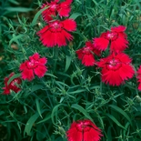 China Pink Seeds (<i>Dianthus chinensis</i>)