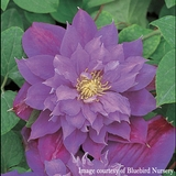 Clematis 'Beauty of Worcester' Clematis (<i>Clematis</i> cv.)