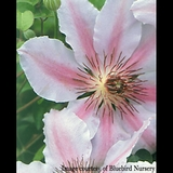 Clematis 'Nelly Moser' (<i>Clematis</i> cv.)