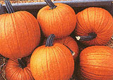 Connecticut Field Pumpkin Seeds (<i>Cucurbita pepo</i>)