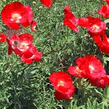 Corn Poppy Seeds (<I>Papaver rhoeas</I>)