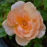 'Cr�puscule' Rose (<i>Rosa</i> cv.)