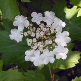 Cranberry Bush (<i>Viburnum trilobum</i>)