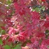 Cranberry Bush (Viburnum trilobum)