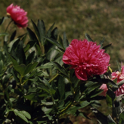 Double Pink Peony (Paeonia officinalis 'Rosea Plena')