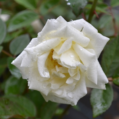 'Ducher' China Rose (Rosa x chinensis cv.)