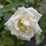 'Ducher' China Rose (<i>Rosa</i> x <i>chinensis</i> cv.)