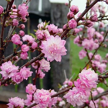 Dwarf Flowering Almond (Prunus glandulosa 'Rosea Plena')