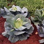 Early Jersey Wakefield Cabbage Seeds (<i>Brassica oleracea capitata</i> cv.)