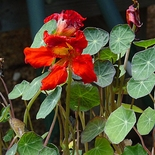 'Empress of India' Nasturtium Seeds (<I>Tropaeolum majus cv.</I>)