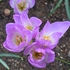 False Autumn Crocus (Colchicum bornmuelleri)