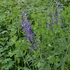 False Blue Indigo (Baptisia australis)