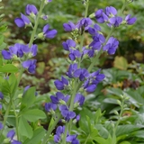 False Blue Indigo (<i>Baptisia australis</i>)