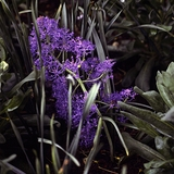 Feathered Hyacinth (<i>Muscari comosum</i> 'Plumosum')