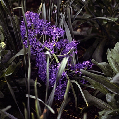 Feathered Hyacinth (Muscari comosum 'Plumosum')