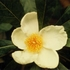Franklin Tree (Franklinia alatamaha)