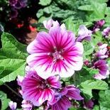 French Mallow Seeds (<I>Malva sylvestris</I>)