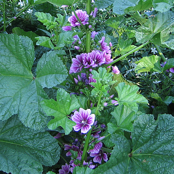 French Mallow Seeds Malva Sylvestris