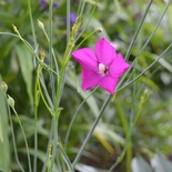 Fringed Poppy Mallow (<i>Callirhoe digitata</i>)