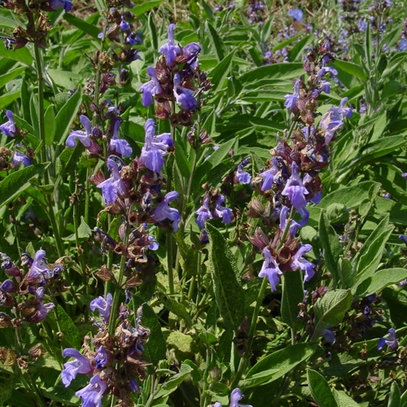 Garden Sage (Salvia officinalis)