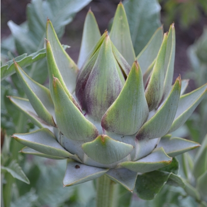 Globe Artichoke Seeds (Cynara scolymus), Artichoke Seeds, Artichoke Plants, Artichoke, Seeds, Garden Seeds, Vegetable Seeds, Garden Supplies