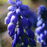 Grape Hyacinth (<i>Muscari armeniacum</i>)
