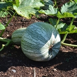 Green Striped Cushaw Winter Squash Seeds (<i>Cucurbita mixta</i> cv.)