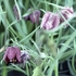 Guinea Hen Flower, Checkered Lily (Fritillaria meleagris)