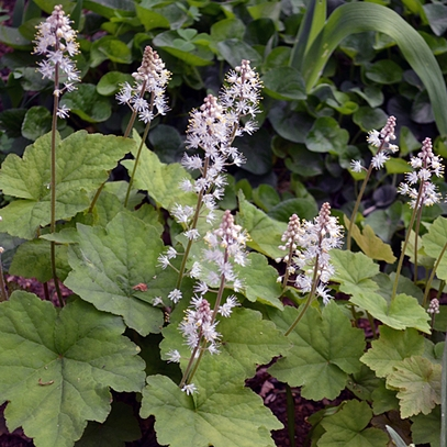 Heartleaf Foamflower (Tiarella cordifolia)