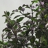 Holy or Sacred Basil Seeds (Ocimum tenuiflorum)