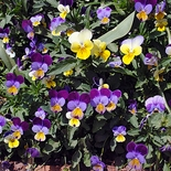 Johnny-jump-up Seeds (<i>Viola tricolor</i>)