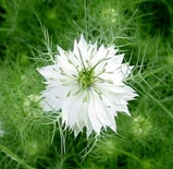 Love-in-a-Mist Seeds (<I>Nigella damascena</I>)