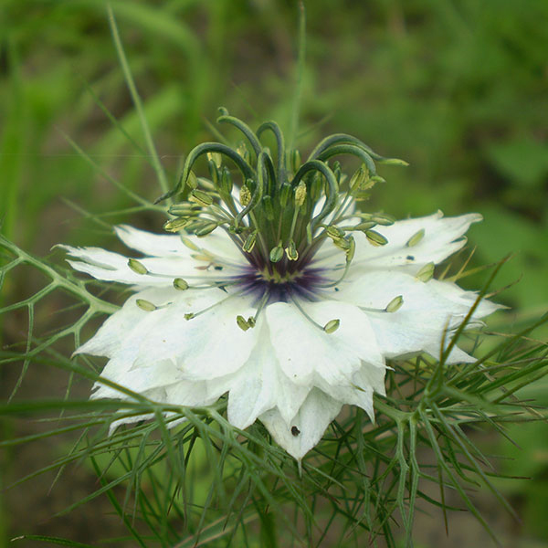 Love In A Mist Seeds Nigella Damascena