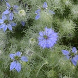 Love-in-the-Mist Seeds (<I>Nigella damascena</I>)