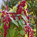 Love-lies-bleeding Seeds (<i>Amaranthus caudatus</i>)