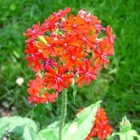 Maltese Cross Seeds (<i>Lychnis chalcedonica</i>)