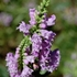 Obedient Plant (Physostegia virginianum)