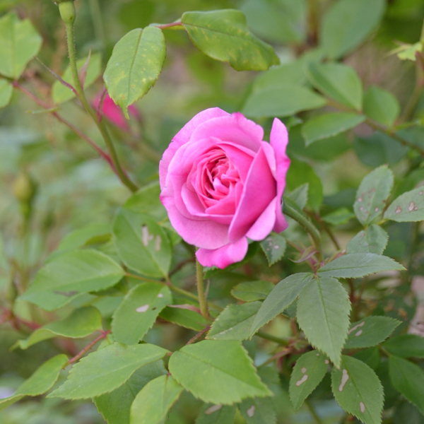 Old Blush China Rose Rosa Chinensis Cv