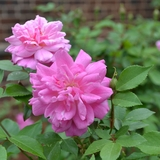 'Old Blush' China Rose (<i>Rosa chinensis</i> cv.)