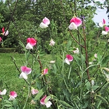 Painted Lady Sweet Pea Seeds (<i>Lathyrus odoratus</i> cv.)