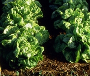 'Paris White Cos' Lettuce Seeds (<I>Lactuca sativa</I>)
