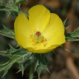 Prickly Poppy Seeds (<i>Argemone mexicana</i>)