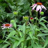 Purple Coneflower (<i>Echinacea purpurea</i>)