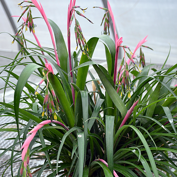 Queen S Tears Billbergia Nutans