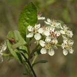 Red Chokeberry (<i>Aronia arbutifolia</i>)