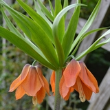 Red Crown Imperial Lily (<i>Fritillaria imperialis</i> 'Rubra Maxima')