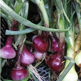 Red Wethersfield Onion Seeds (<i>Allium cepa cv.</i>)